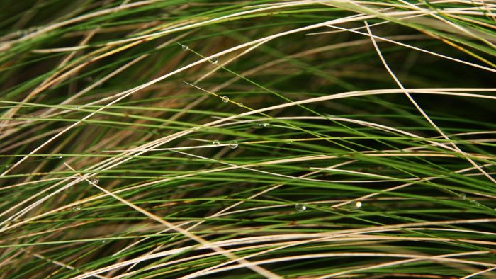 What Is Mexican Feather Grass?