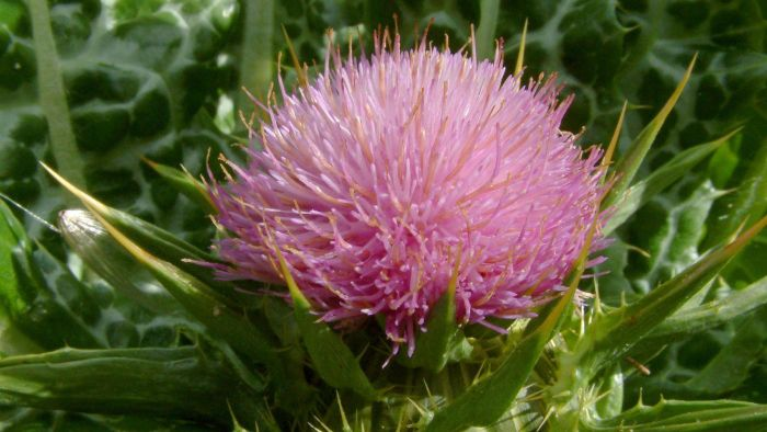 Does Milk Thistle Cleanse the Liver?