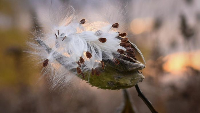 What Are Milkweed Seeds?