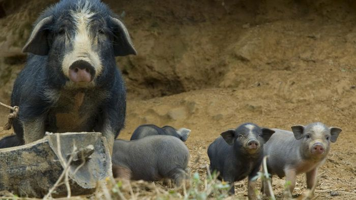 What Are Mini Potbelly Pigs?
