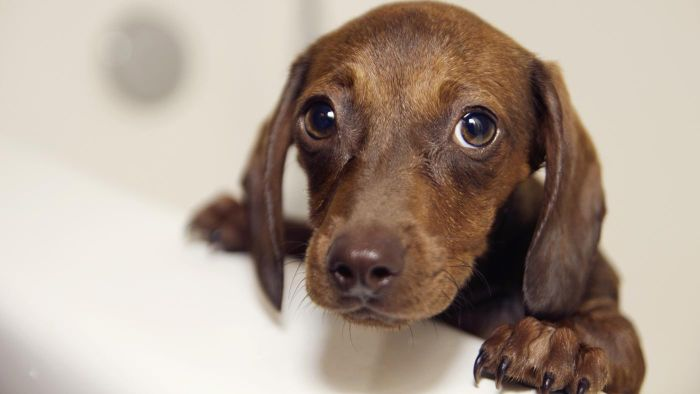 What Is a Miniature Doxie?