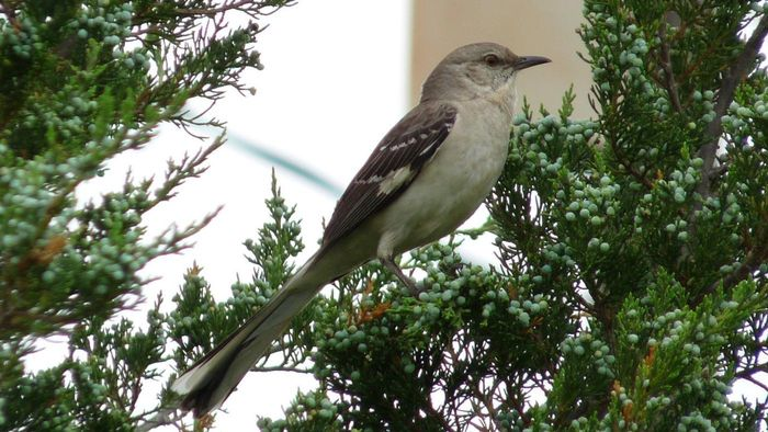 Where Do Mockingbirds Live?