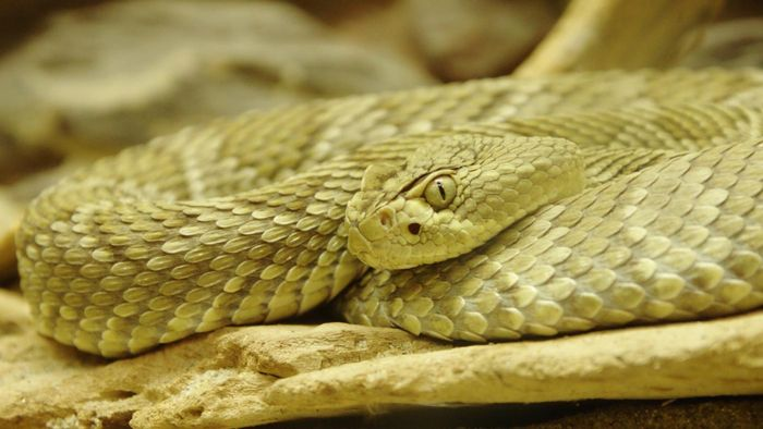 What Is a Mojave Viper?