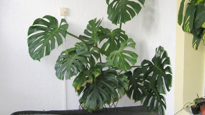 What Is a Monstera Plant?