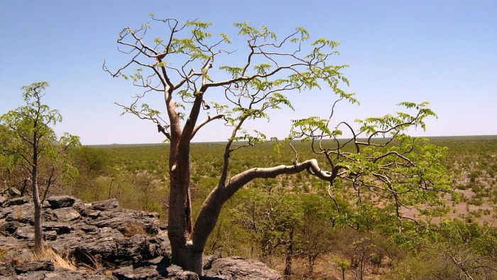 What Is a Moringa Tree?