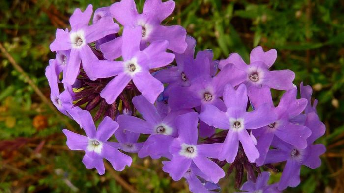 What Is Moss Verbena?