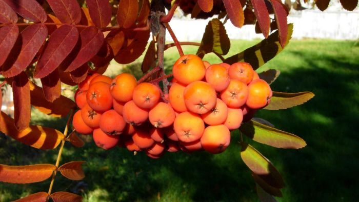 Are Mountain Ash Berries Edible?