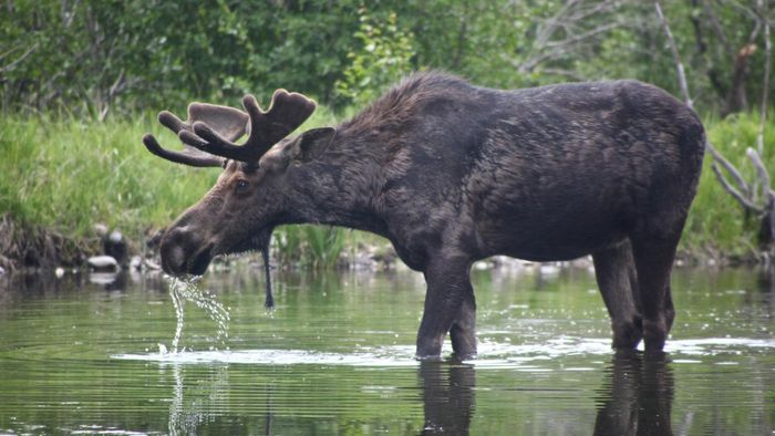 How much does the average adult moose weigh?