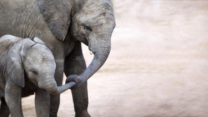 How Much Does a Baby Elephant Weigh at Birth?