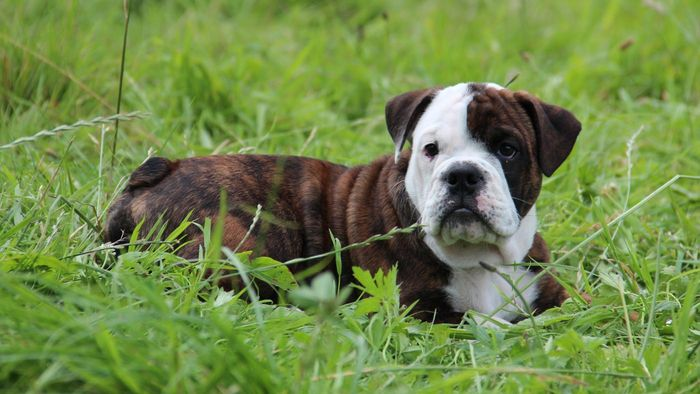 How Much Does a Bulldog Puppy Cost?