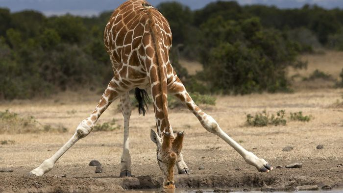 How Much Does a Giraffe Weigh?