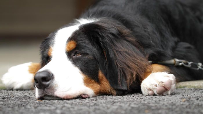 How Much Gravol Can Be Given to a Dog?