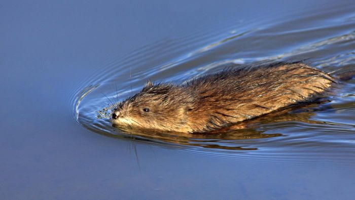 What Do Muskrats Eat?