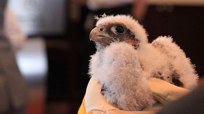 What Is the Name of a Baby Falcon?