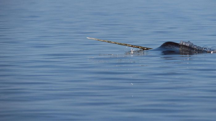 What Is the Narwhal's Food?