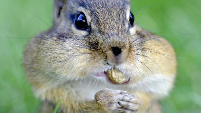 What Is a Natural Chipmunk Repellent?