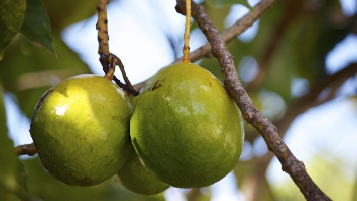 Do You Need to Plant Two Avocado Trees for Them to Bear Fruit?