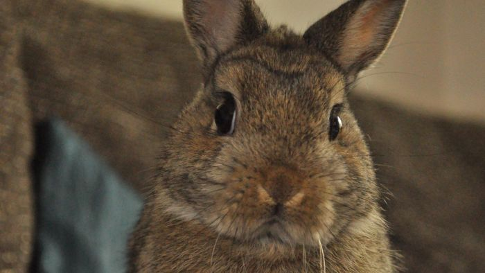 What Do Netherland Dwarf Rabbits Eat?