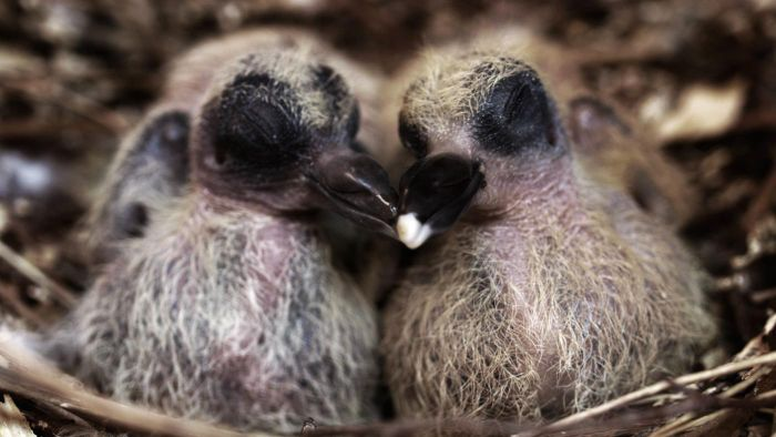 Why Do You Never See Baby Pigeons?