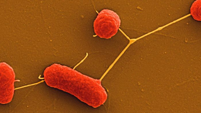 What Are Nonfastidious Bacteria?