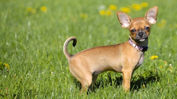 What Is the Normal Behavior of a Chihuahua?