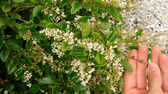 What Is a North Privet?