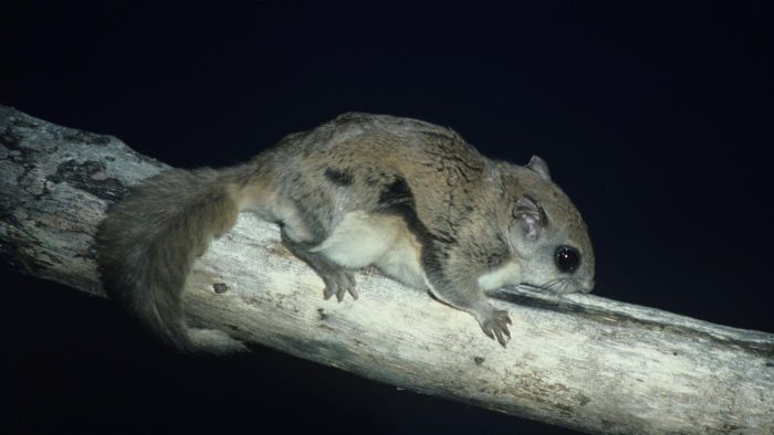What Are Some Facts About the Northern Flying Squirrel?