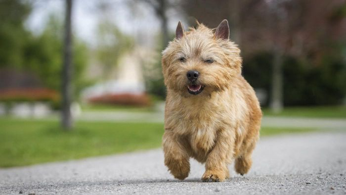 What Is a Norwich Terrier?