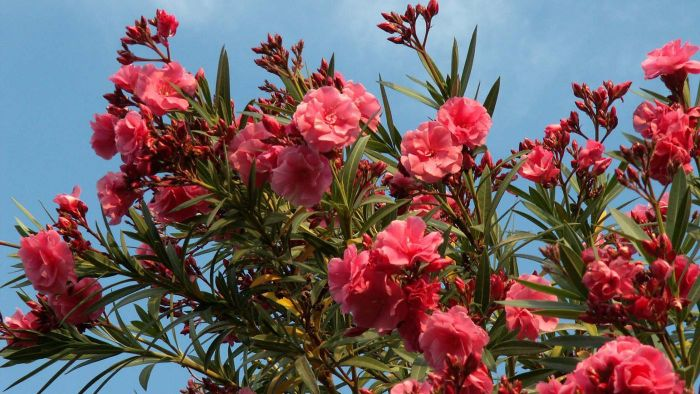 What are oleander bushes?