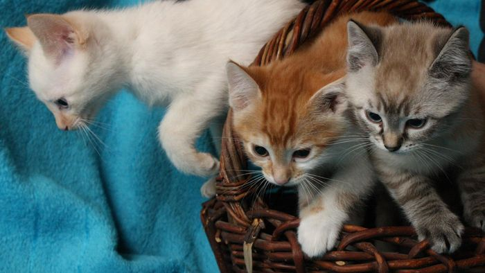 Are Orange and White Kittens Common?