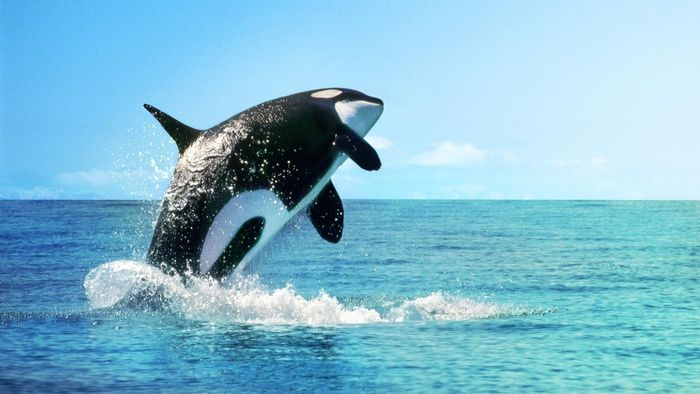 What Are Some Orca Facts for Kids?