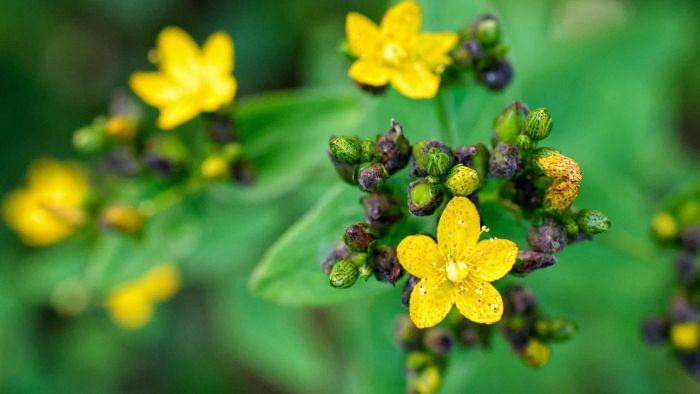 What is an overview of St. John's Wort?