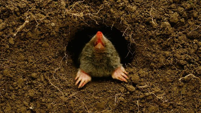 Is There a Painless and Effective Mole Trap to Use?