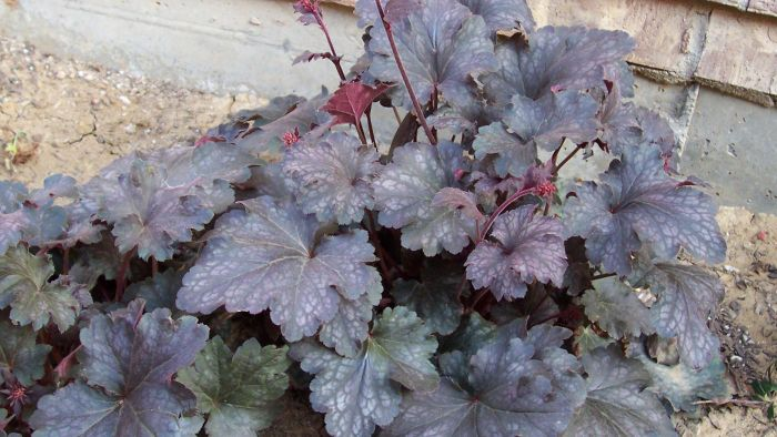 "What Are ""Palace Purple"" Coral Bells?"