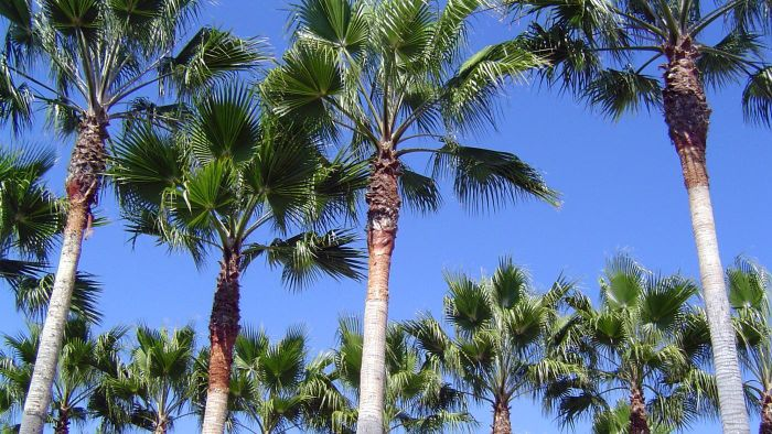 Why Are There Palm Trees in California?