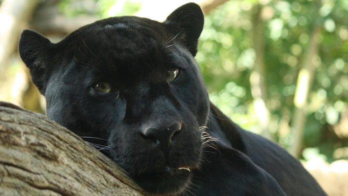 What Do Panthers Eat?