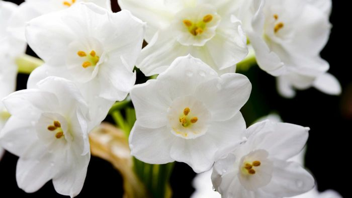Are Paperwhites Poisonous to Dogs?