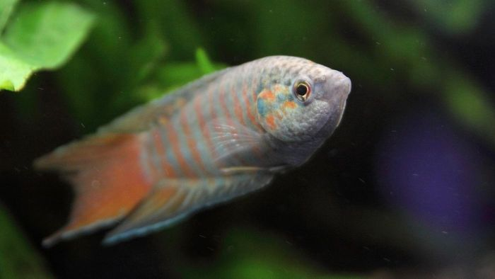 What Is a Paradise Gourami?