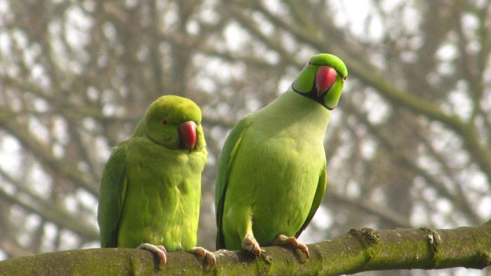 Where do parakeets come from?