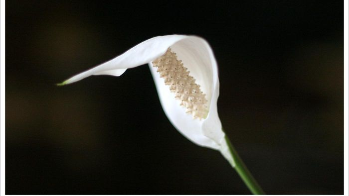 Why Do a Peace Lily's Leaves Turn Yellow?