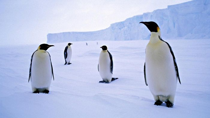 Why Do Penguins Live in Antarctica?