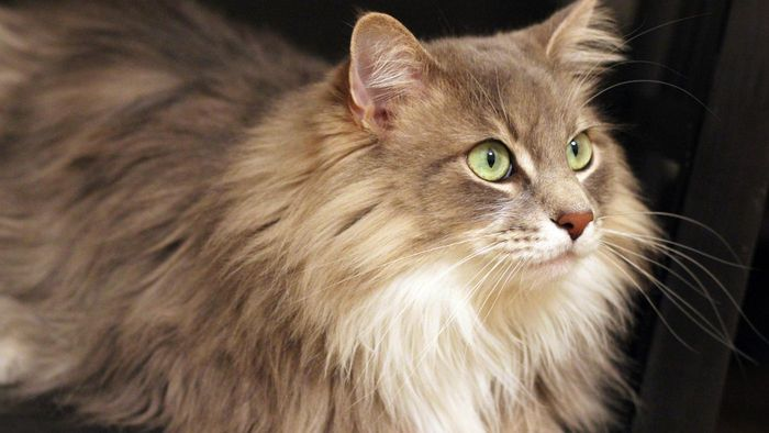 What Is the Personality of a Gray Maine Coon?