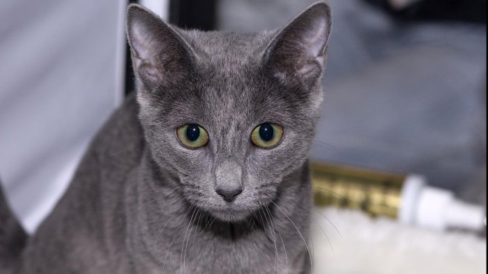 What Is the Personality of a Russian Blue Cat?