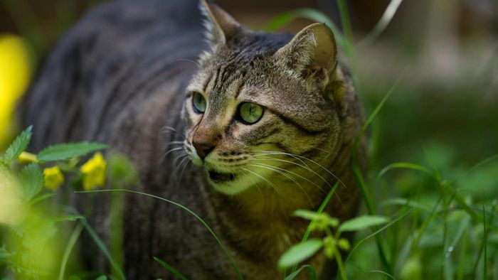 Is a pharaoh cat the same as a wild cat?