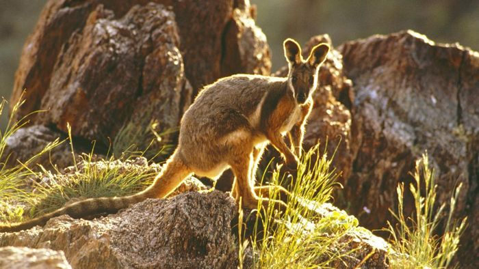 What Are the Physical Characteristics of a Wallaby?