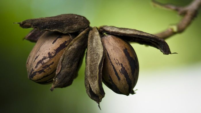 How Do You Pick Pecans?