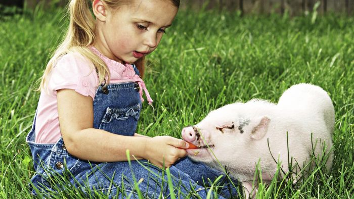 Do Pigs Make Good Pets?