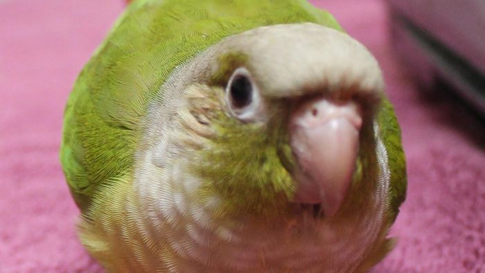 What Is a Pineapple Conure?