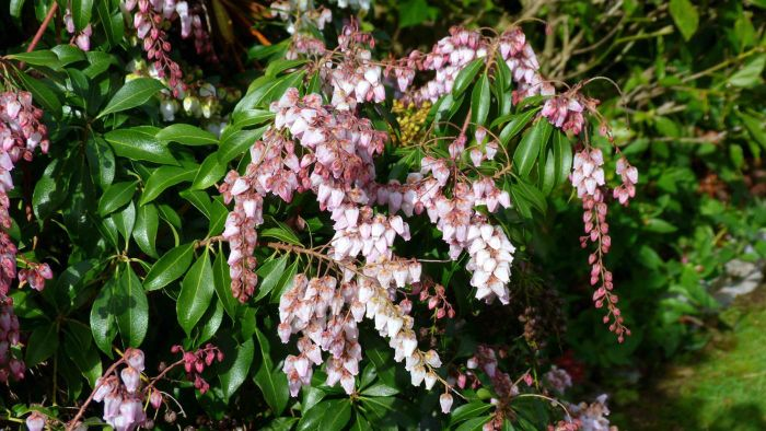 What Is a Pink Lily of the Valley?