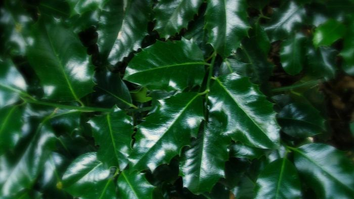 Where is the best place to plant a holly bush?